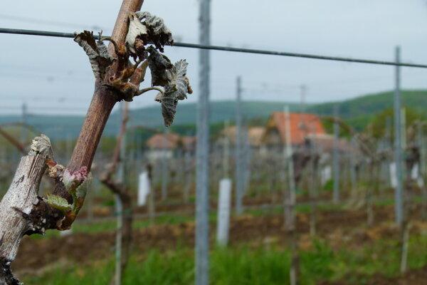 Majitelia vinohradov a sadov sa v závere apríla mohli len prizerať, ako im mráz ničí budúcu úrodu.