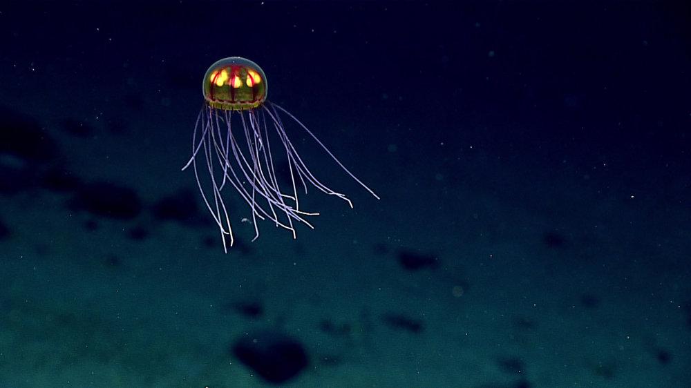 Svietiaca medúza. Vyžarovanie viditeľného svetla živým organizmom nazývame bioluminiscencia.