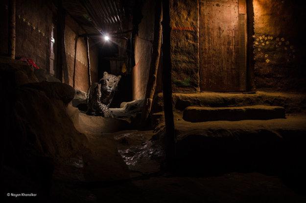 Leopard sa túla uličkami bombajských predmestí a hľadá potravu. Lokálni obyvatelia tieto veľké mačky rešpektujú a považujú ich za súčasť ich života a kultúry. Fotografovi Nayanovi Khanolkarovi trvalo štyri mesiace, kým odfotil snímku, po ktorej túžil. FOTO - NAYAN KHANOLKAR/WILDLIFE PHOTOGRAPHER OF THE YEAR 2016