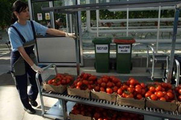 Zamestnanci v skleníku zbierajú prvú úrodu baníckych paradajok.