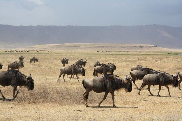 Jedným z vyhľadávaných safari zážitkov v Tanzánii je migrácia pakoní.