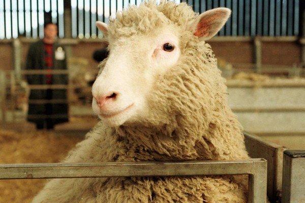 Vyklonovaná ovca Dolly.