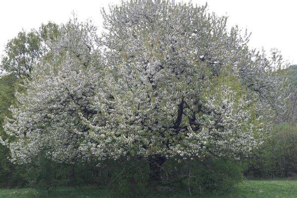 Čerešňa z Lehotyv ankete Strom roka skončila na ôsmom mieste.