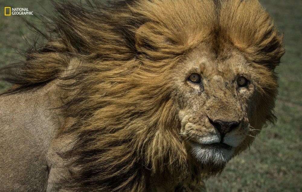 POHĽAD. Dominantný samec leva menom Ziggy sleduje svoje okolie v Národnom parku Serengeti na severe Tanzánie. Sonalini Khetrapal/2016 National Geographic Nature Photographer of the Year