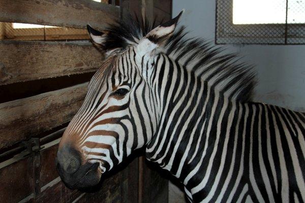 Lobito sa narodil v roku 2011 v mníchovskej zoo.