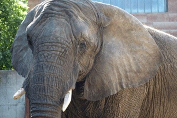 V bojnickej zoo žijú slonice Maja a Gula.