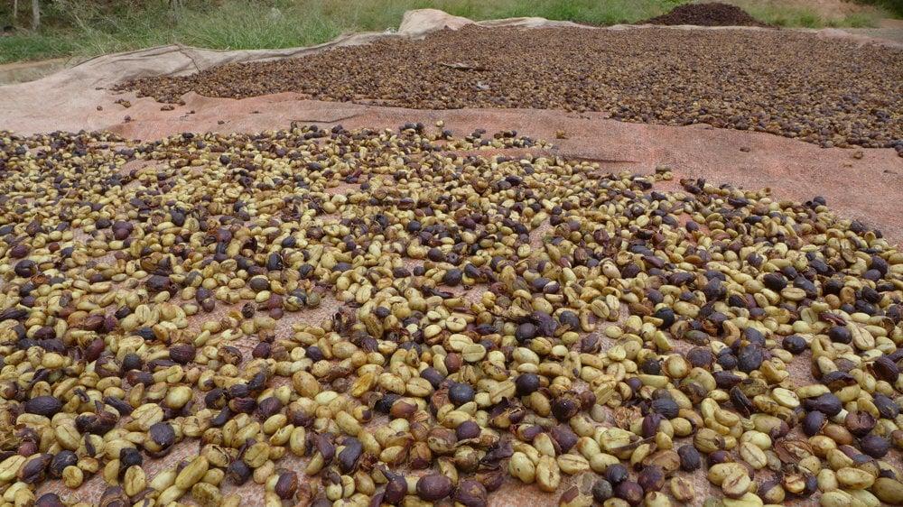 Akhovia v dedine Mae Chan Tai pestujú kávu, vďaka čomu si dokážu zarobiť na živobytie.