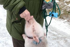 Prasiatko Berry. Domácemu miláčikovi dala meno vnučka chovateľky.