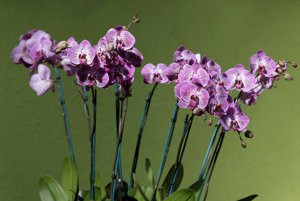 Orchidey patria k najkrajším kvetom.
