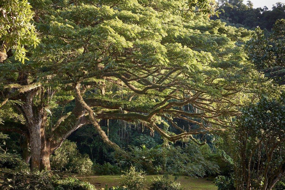 Albízia vCerónskom parku, Francúzsko, 300 rokov  Táto albízia v minulosti svojou širokou korunou zatieňovala kávovníkové a kakaovníkové plantáže. Rastie v parku Habitation Céron, ktorý vznikol na mieste starej plantáže cukrovej trstiny zo 17. storočia. Je to jeden z najväčších stromov Malých Antíl. Tento mohutný strom, sám ochranca ostrova, je chránený pred rozmarmi počasia - prežil všetky cyklóny, ktoré ostrov zasiahli, ako aj erupciu sopky Mont Pellé v roku 1902, počas ktorej žeravé mračná usmrtili 28-tisíc obyvateľov Martiniku.