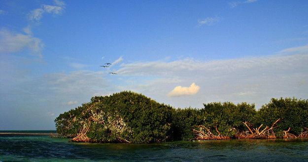 Na pobreží v Belizé nájdete unikátne mangrovníky.