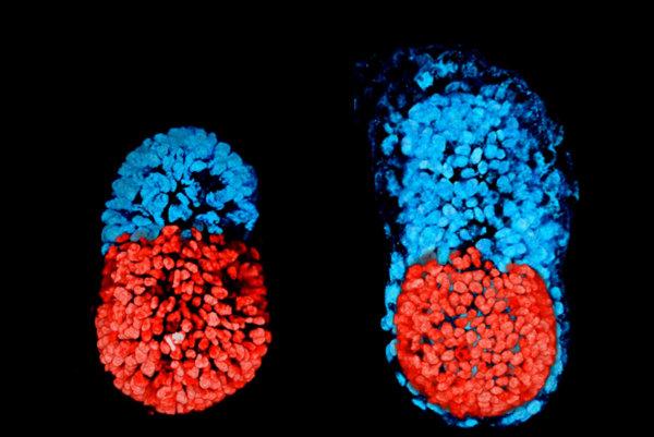 Myšie embryo vymodelované z kmeňových buniek v 96 hodine (vľavo). Myšie embryo kultivované in vitro v 48 hodine v štádiu blastocysty. Červená časť je embryonálna a modrá extra-embryonálna.