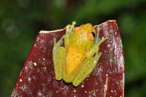 Hypsiboas punctatus patrí do čeľade rosničkovité.
