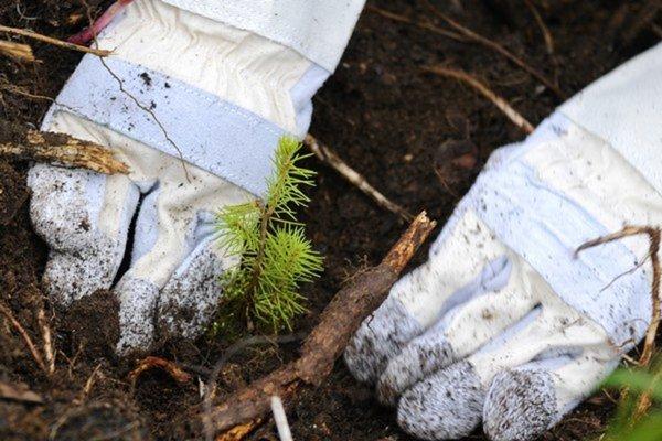 Sadenice. V Tatrách pracujú na obnove lesov.