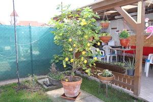 Šuňalovci majú citrónovník už dvadsať rokov.