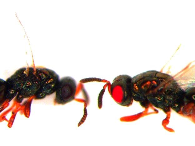 Červenookú osu Nasonia vitripennis (vpravo) vytvorili v laboratóriu pomocou metódy CRISPR. Naľavo je neupravená osa.