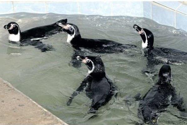 Tučniaky majú plodné obdobie.
