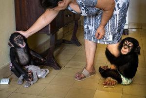 Zoologické záhrady v iných krajinách majú špecializované zariadenia na výchovu zvieracích mláďat. Na Kube táto práca pripadá na 62-ročnú zoologičku Llanes, ktorá vo svojom byte v Havane vychovala už desať šimpanzov, odkedy začala pracovať v miestnej ZOO.