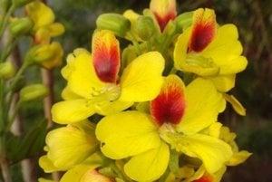 Kvety stromu paubrasilia echinata s charakteristickými krvavočervenými vrchnými lupeňmi.
