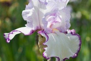 Pre neznalca je každý iris krásny, no ak chce pestovateľ registrovať novú odrodu, musí spĺňať predpísané kritériá.
