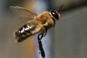 Trúd, samec včely medonosnej, slúži včelej kráľovnej taktiež iba na párenie. Počas aktu párenia sa od samčeka odpojí penis a ten okamžite umiera. Táto