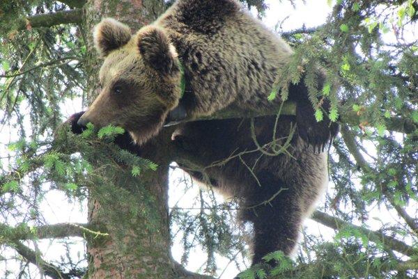 Medveď hnedý  je od roku 1932 zákonom prísne celoročne chránený.