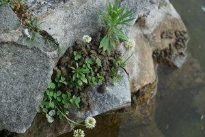 Jediná suchá plocha. Na rozpálenom kameni hľadalo záchranu pred vysilením vo vode stovky žabiek.
