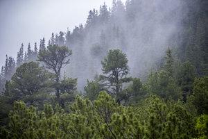 Po orieškoch borovice limby túžia vtáčiky orešnice aj medvede, ktoré sa vedia šikovne šplhať až na vrcholky stromov.