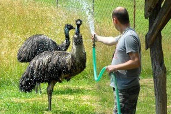 Frederik a Frederika. Párik emu hnedých osviežil sprchou zoológ P. Pastorek.