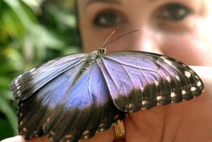 Pútavé motýle zčeľade Morfo pochádzajú ztropických pralesov Strednej aJužnej Ameriky. FOTO: (TMR)