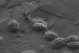 Mikrosken šiestich tardigrad. Keď tardigrady uschnú, stiahnu svoje nohy a hlavu do kutikuly a vytvoria guličku. Takto dokážu vydržať niekoľko rokov.
