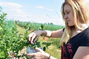 Kto chce viac čučoriedok, mal by uprednostniť samozber na farmách.