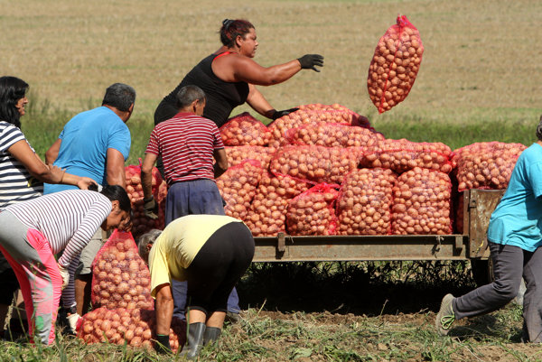 Dlhodobo nezamestnaní ľudia pracujú na poli v Raslaviaciach.