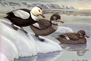 Kačka labradorská žila na atlantickom pobreží severnej Ameriky. Posledného jedinca zabili v roku 1875,. Lovili ju napriek tomu, že nemala chutné mäso.