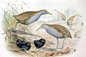 Vták Porzana palmeri žil iba na jednom havajskom ostrove. Vyhynul kvôli zamoreniu biotopu domácimi králikmi a aj kvôlôi druhej svetovej vojne.