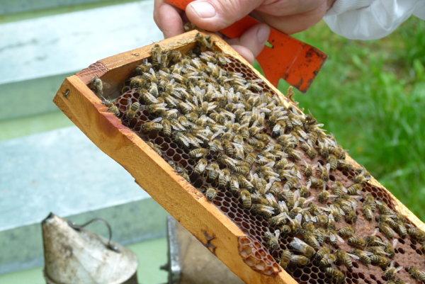 Včelárov straší infekčné ochorenie, ktoré im môže vykynožiť celé včelstvá.