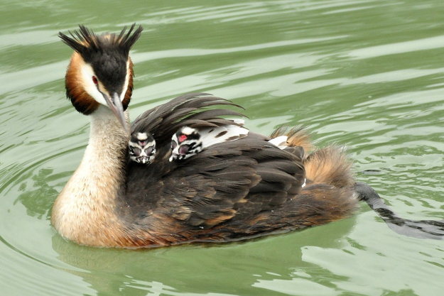 Mama potápka s mladými.