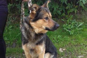 Bady mladý dospievajúci pes plemena nemecký ovčiak hľadá nový domov. Je hravý, ovláda pár povelov, výborné hlási, nekonfliktný.