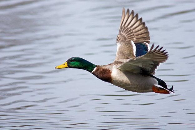 Samec je s výnimkou leta pestrofarebný, ľahko ho rozoznáme od kačice.