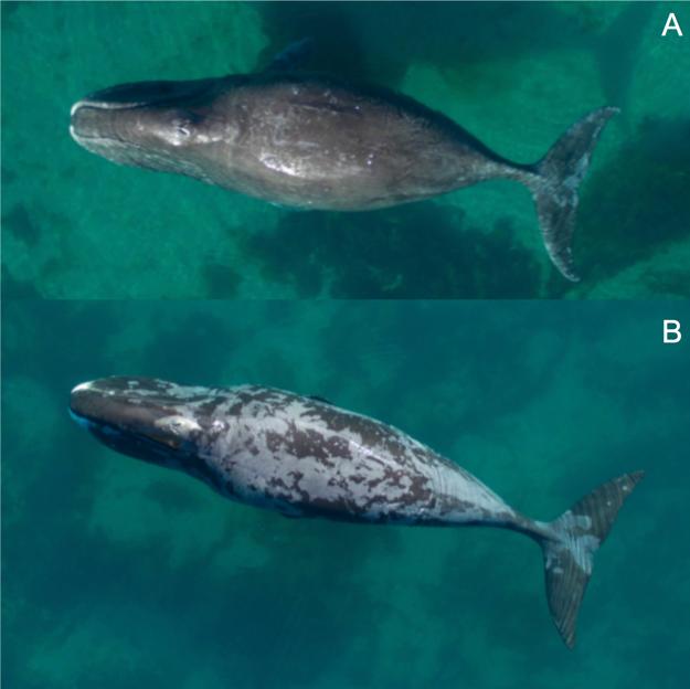 Veľryba na obrázku A má minimum odlúpnutej pokožky, pokožka veľryby na obrázku B sa odlúpla z viac ako 66 percent povrchu tela.