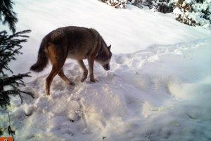 Vlk je plaché zviera, ľuďom sa vyhýba.