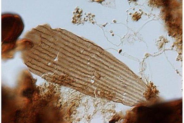Fosília šupinky motýlieho krídla.