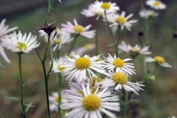 Takzvané druhé kvitnutie rastlín bolo v týchto dňoch výrazné