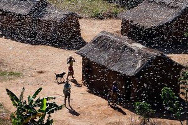 Madagaskar čelí nájazdom kobyliek, či sarančí často. Ako to bude u nás vyzerať o pár rokov pri zmene klímy, nevie nik.