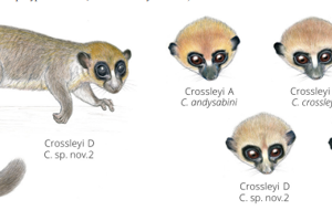 Podobnosť jednotlivých taxonov v skupine Cheirogaleus crossleyi .