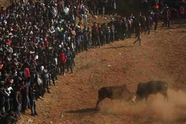 Indické krotenie býkov sa podobá španielskym býčím zápasom.