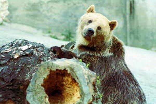 Keď je teplo, medveď nemá dôvod spať.