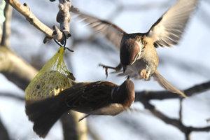 Vrabce súperia o lojovú guľku.