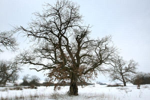 Dubový háj Gavurky v zime.