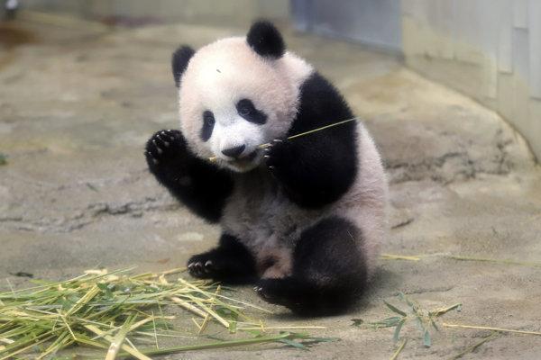 Šesťmesačné mláďa pandy veľkej Siang Siang si pochutnáva na bambuse v zoologickej záhrade Ueno. Evolúcia pandám umožnila rozoznávať toxíny v rastlinách.